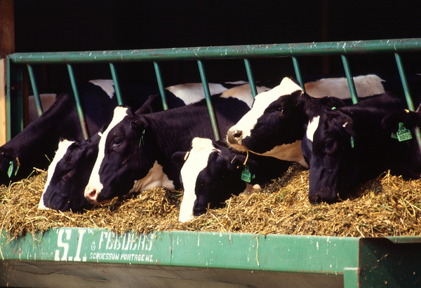dairy_cows 2