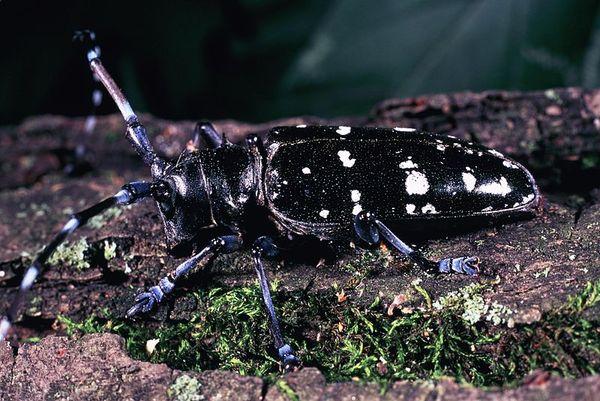 Asian_longhorn_beetle_invasive_species
